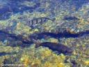 Fish swim in an anchialine pond at the Queen's Bath in Kaloko-Honokohau National Historical Park.