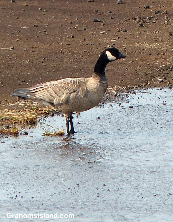 A cackling goose on the Big Island
