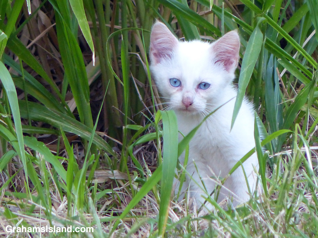A white feral kitten with icy blue eyes
