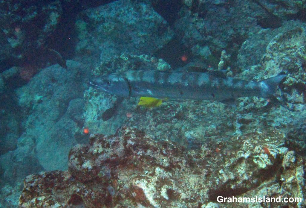 A great barracuda prowls a Big Island reef.
