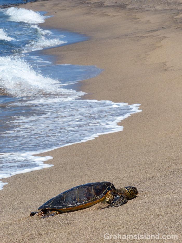 A Hawiian green turtle rests at Kaloko-Honokohau National Historical Park.