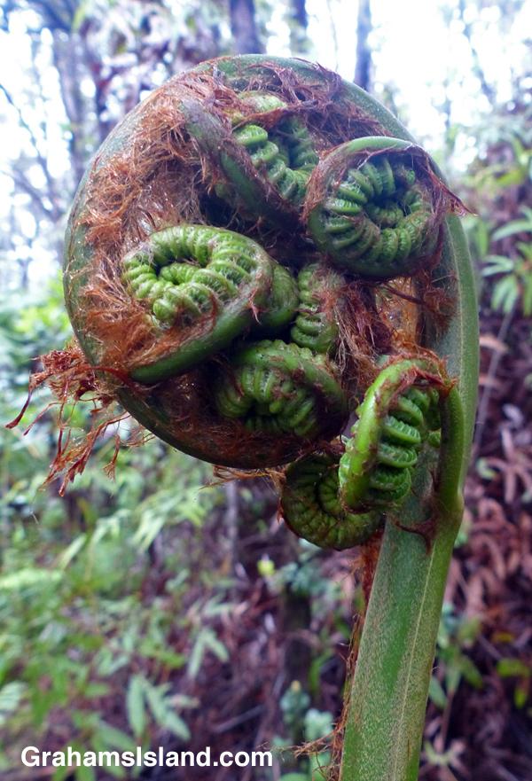 A hapuu fern on the Big Island