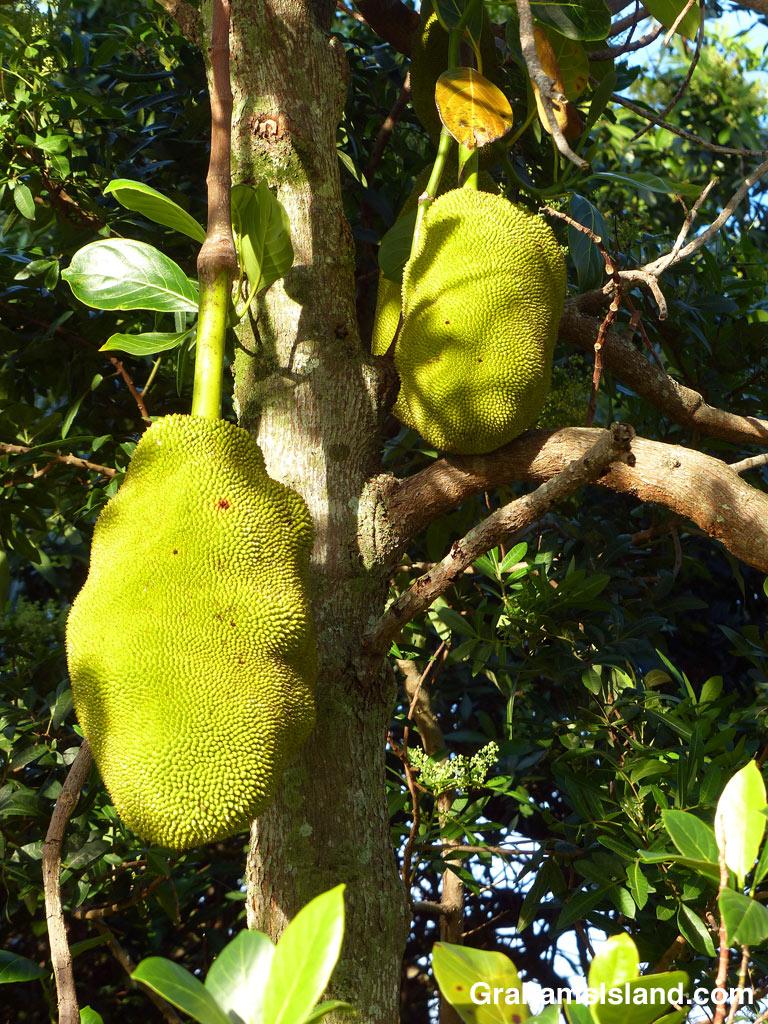 Jakfruits
