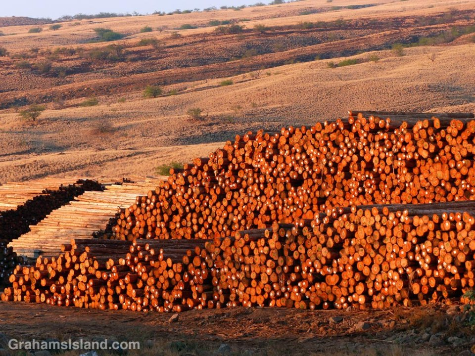 Eucalyptus logs at the log yard at Kawaihae.