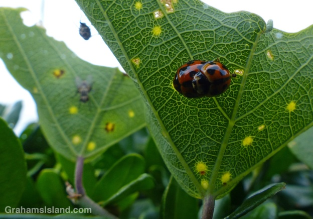 A pair of variable lady beetles mating on the underside of a leaf of a passion flower vine.