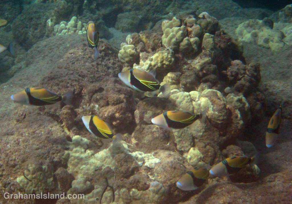 A group of young wedgetail triggerfish, otherwise known as humuhumu-nukunuku-ā-pua-a, putter through the shallows.