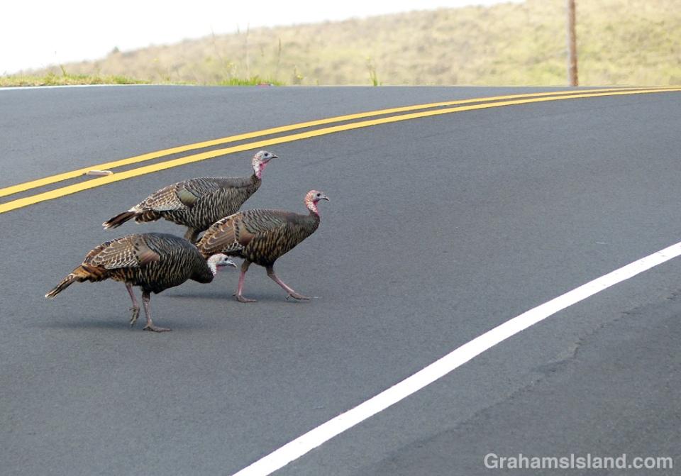 wild-turkeys