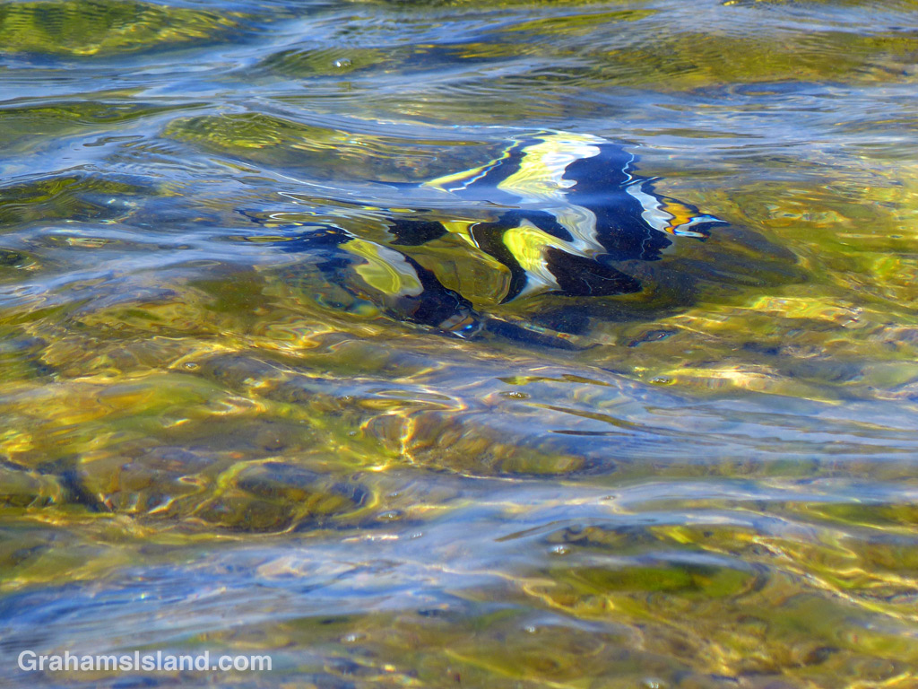 A pair of moorish idols swim in shallow water at Kaloko-Honokohau National Historical Park.