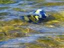 A pair of moorish idols swim in shallow water at Kaloko-Honokohau National Historical Park.