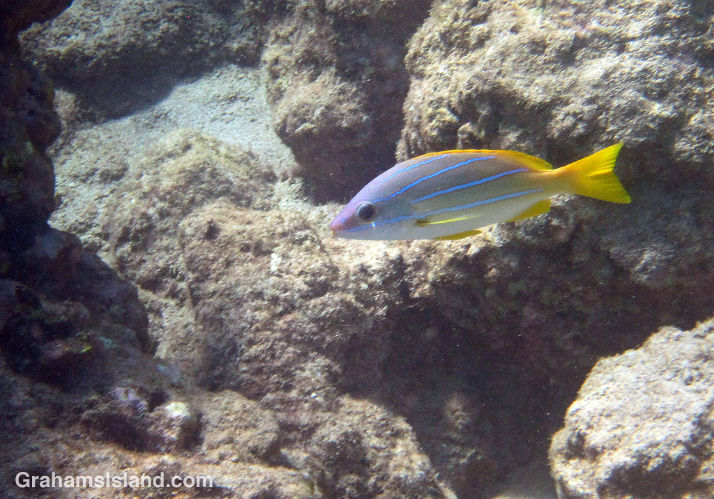 A bluestripe snapper in the waters off the Big Island