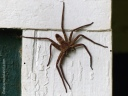 A cane spider on the Big Island of Hawaii