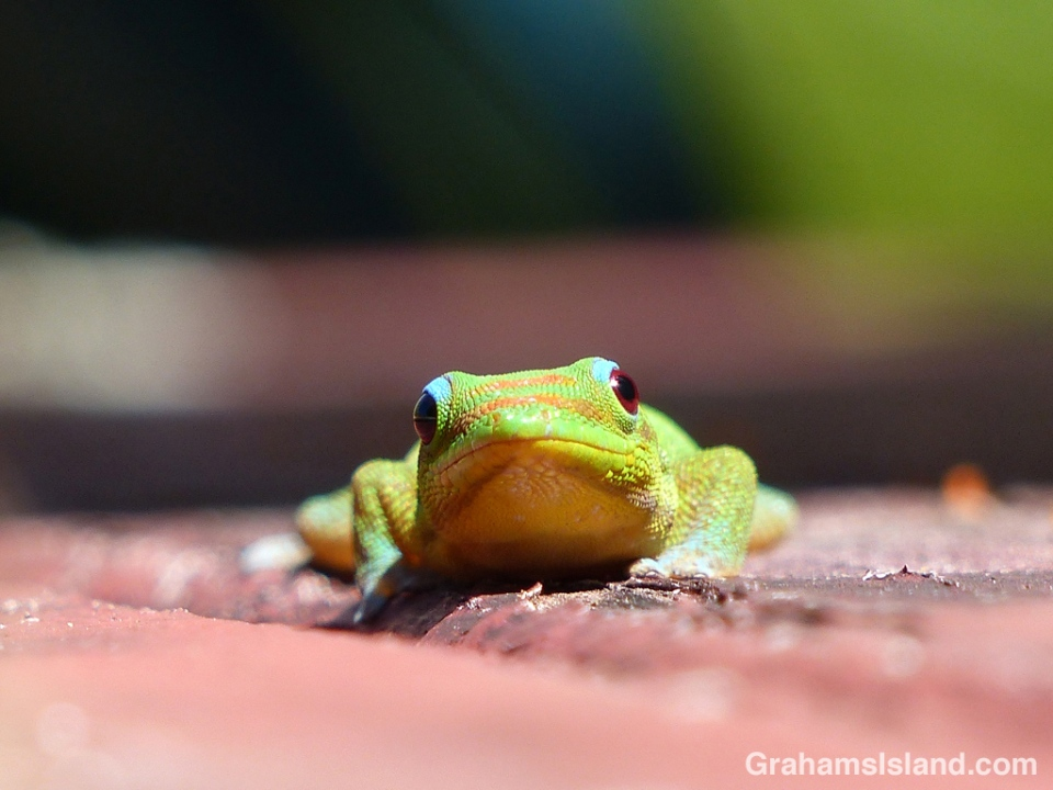 A gold dust day gecko at eye level