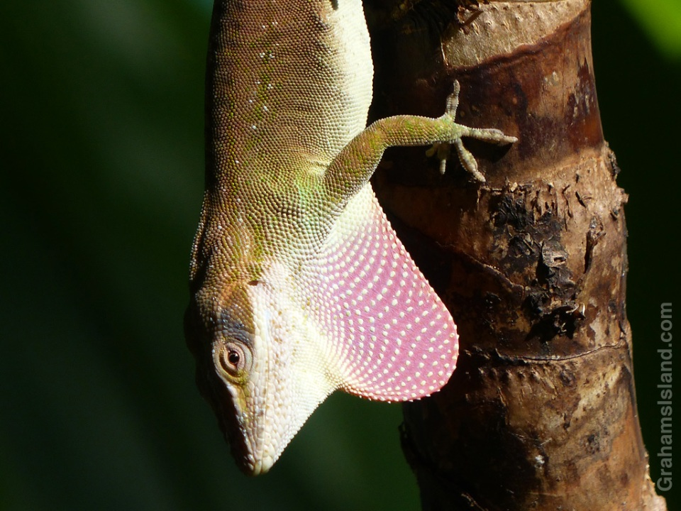 A green anole puffs out its dewlap.