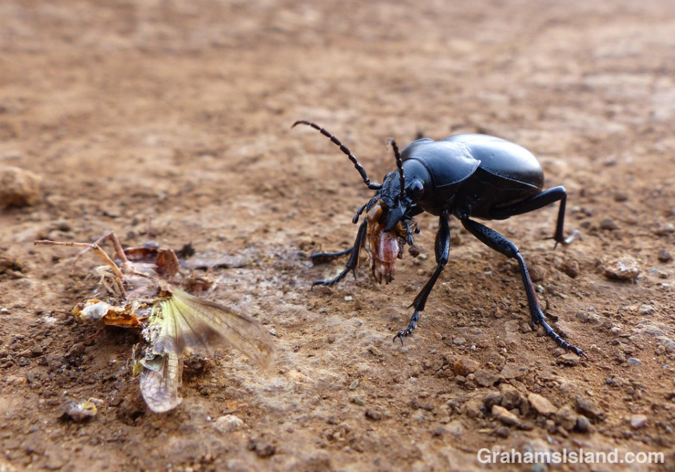 A ground beetle on the Big Island