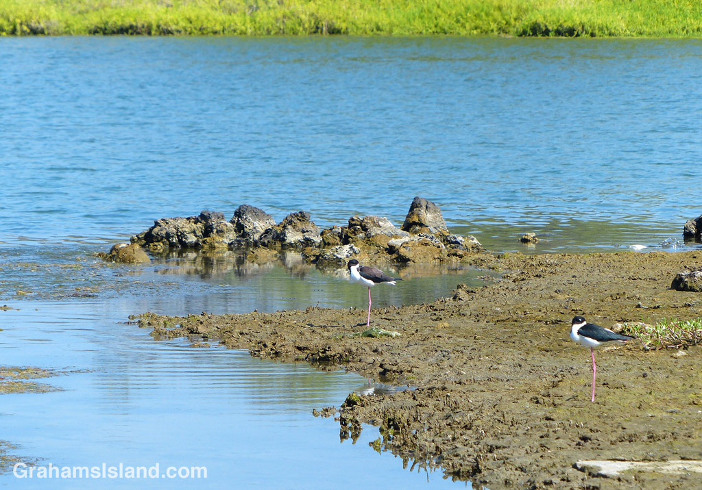 A pair of Hawiian Stilts at the Kaloko Fishpond at Kaloko-Honokohau National Historical Park.