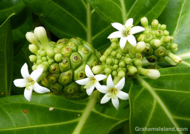 The flowers of a morinda citrifolia plant on the Big Island of Hawaii