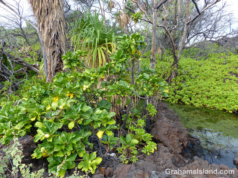 A morinda citrifolia plant on the Big Island of Hawaii