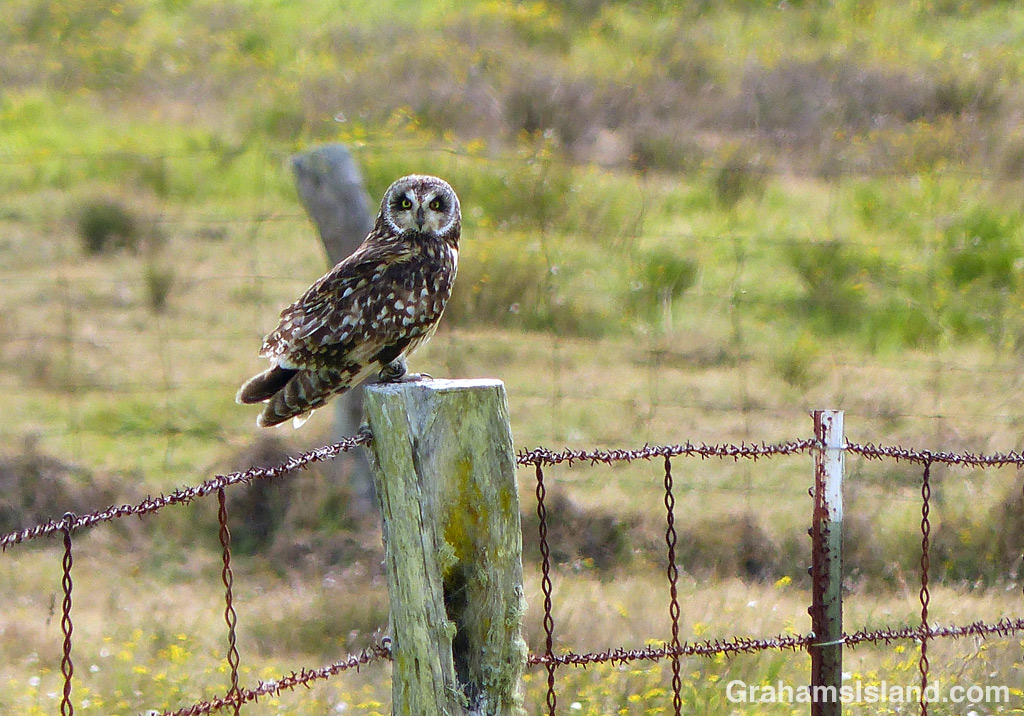 A Pueo, or Hawaiian short-eared owl, sits on a post beside Old Saddle Road on the Big Island.