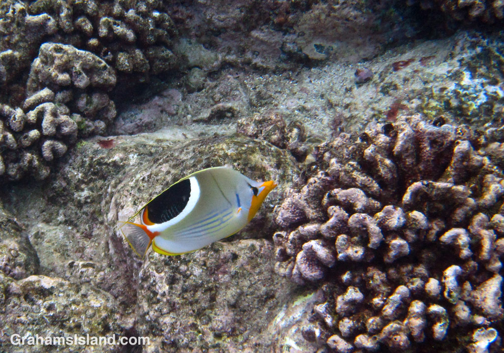 A saddleback butterflyfish cruises through coral heads off the Big Island.