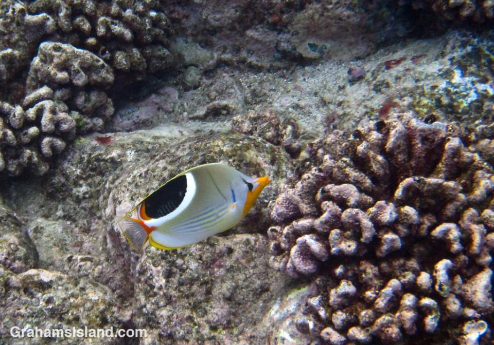 A saddleback butterflyfish cruises through coral heads off the Big Island.