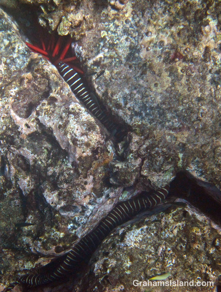 A zebra moray eel in the waters of the Big Island.