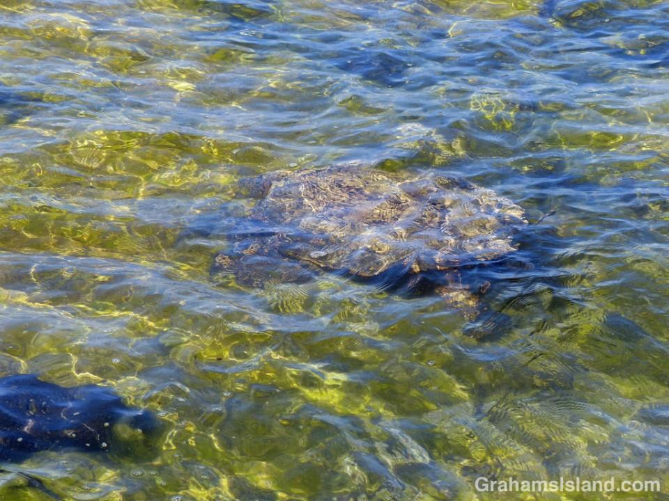 A green turtle swims through rippling shallow water at Kaloko-Honokohau National Historical Park.