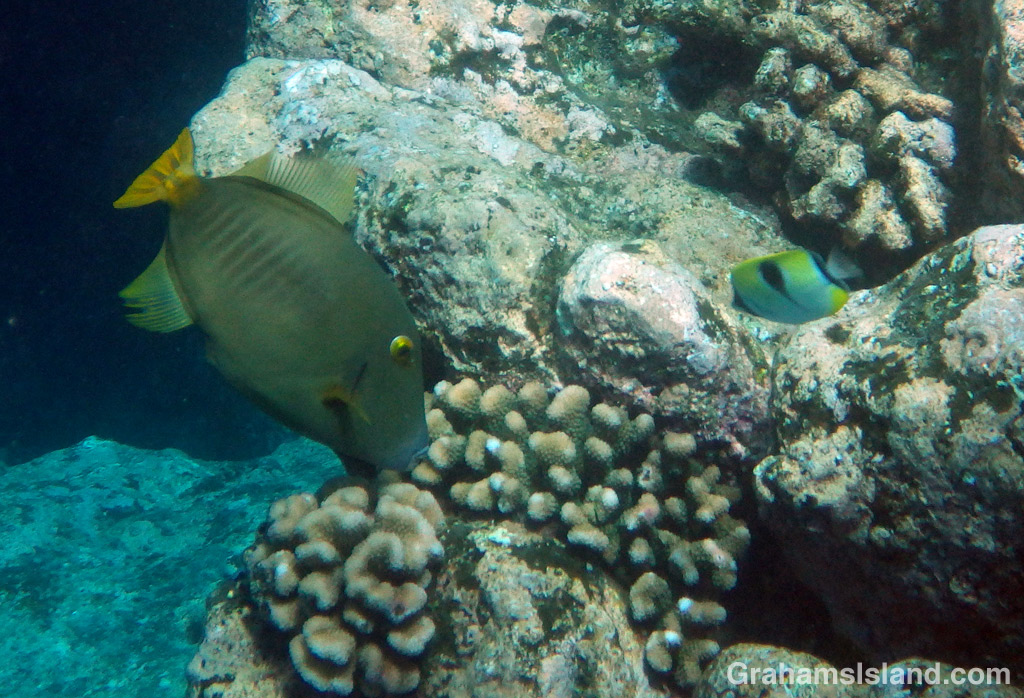 A barred filefish grazes on a coral head.
