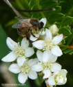 A bee on ulei (Osteomeles anthylidifolia) which is indigenous to Hawaii.