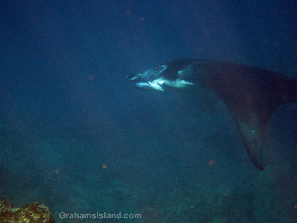 A coastal Manta Ray in the waters off the Big Island of Hawaii.
