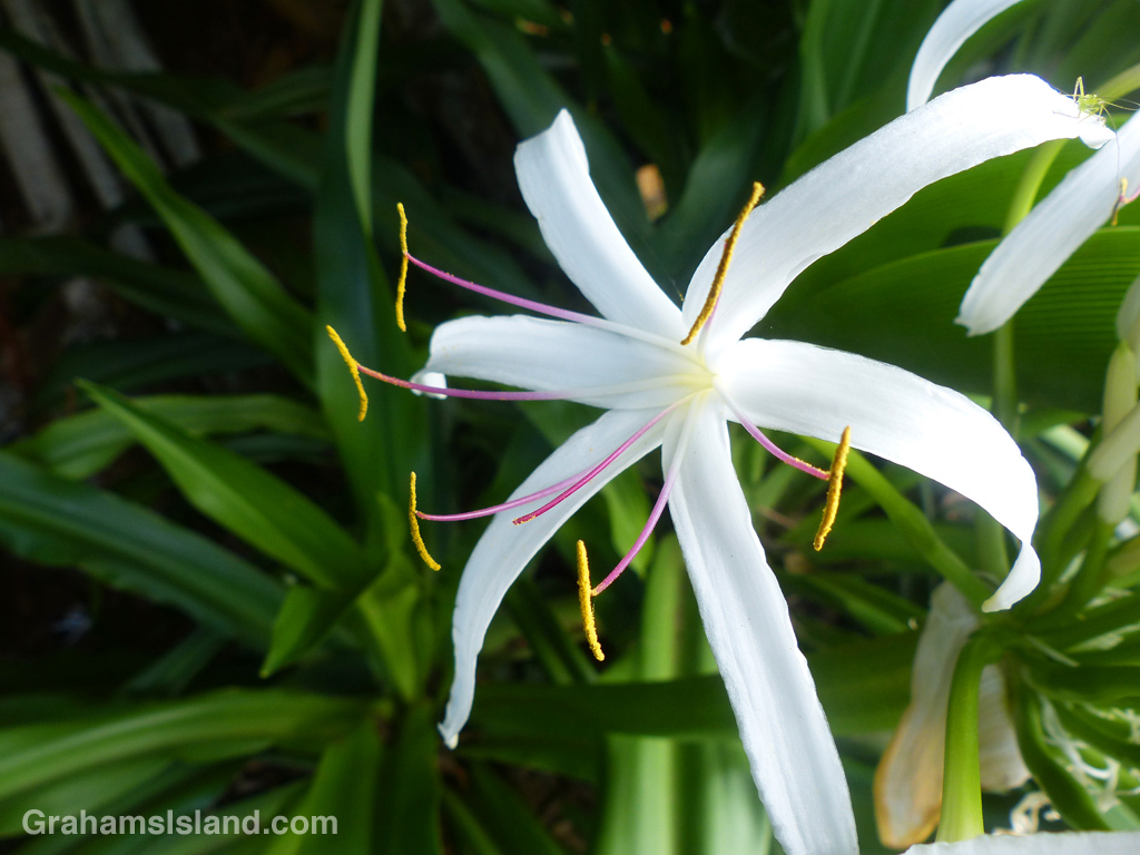 Crinum asiaticum, or spider lily, is common in Hawaii.
