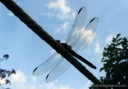 The lace-like wings of a dragonfly are silhouetted as it rests on a line.