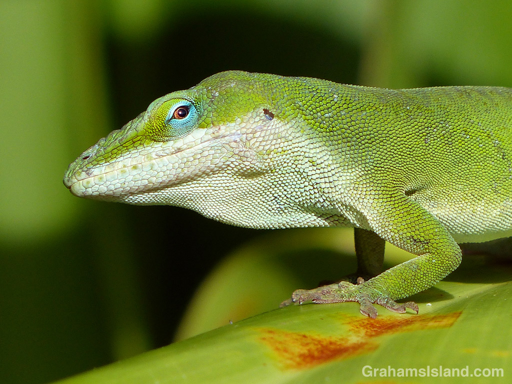 A green anole keeps a close eye on what's happening in his territory.