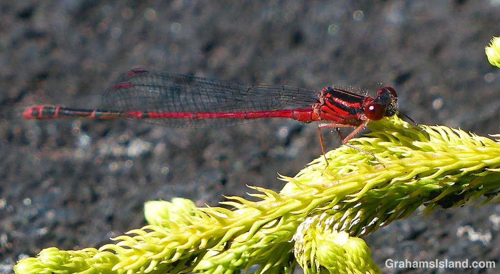 A Hawaiian Upland damselfly (Megalagrion hawaiiense) on the Big Island