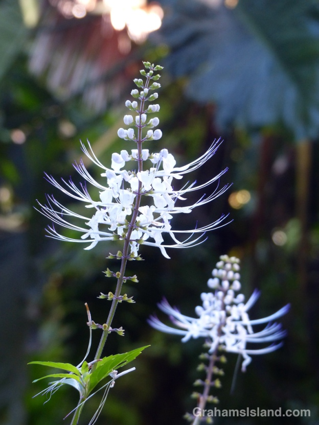 Orthosiphon aristatus is better known in the U.S. as Java tea or cat's whiskers