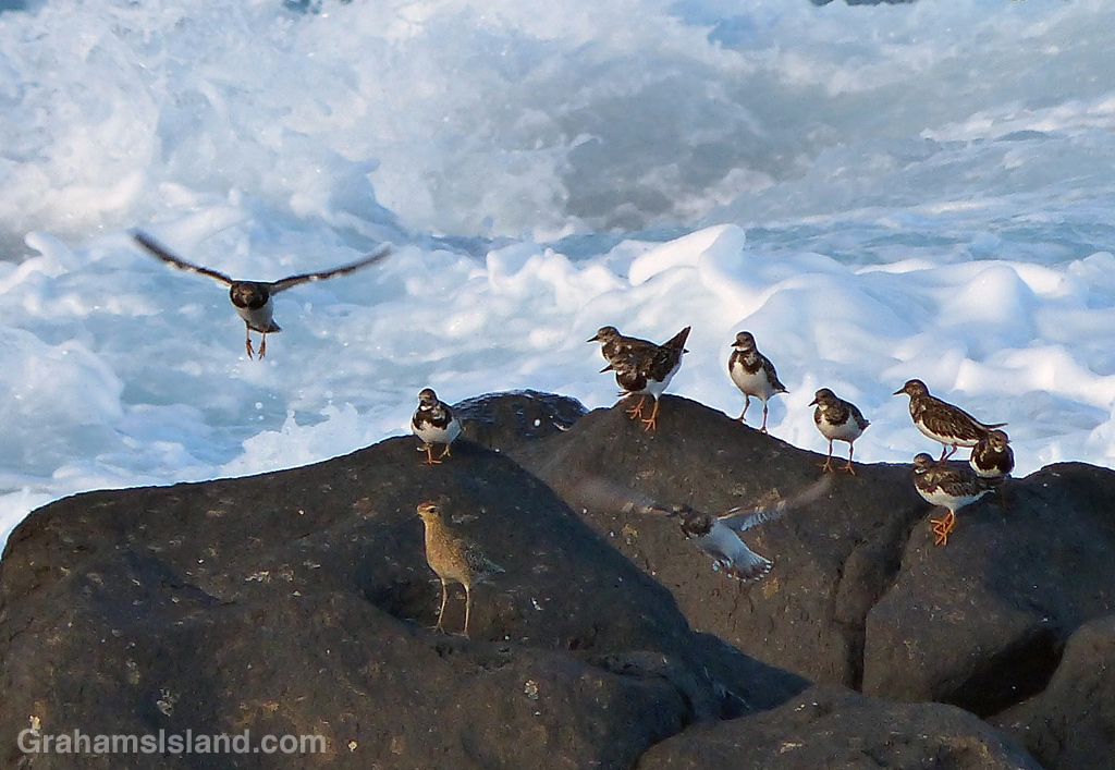 Ruddy turnstones on the Big Island
