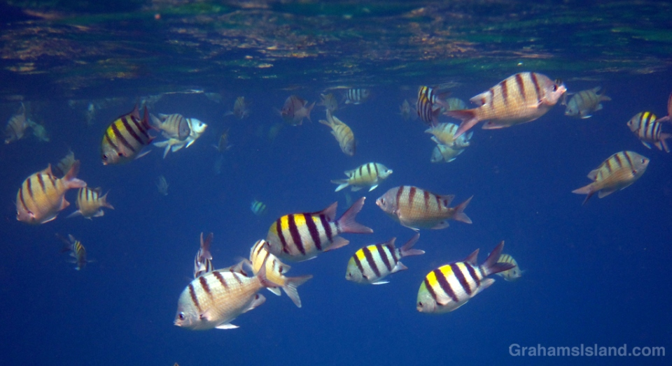 Sergeant fish feeding off the Big Island