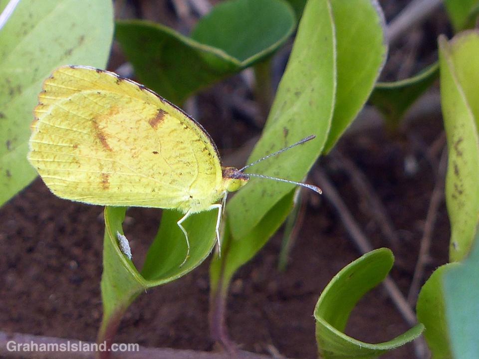 A sleepy orange butterfly on the Big Island of Hawaii