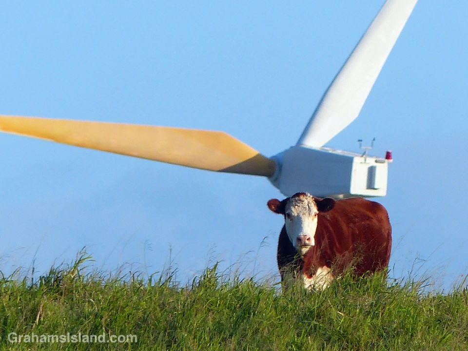 A steer stands with a wind turbine behind it