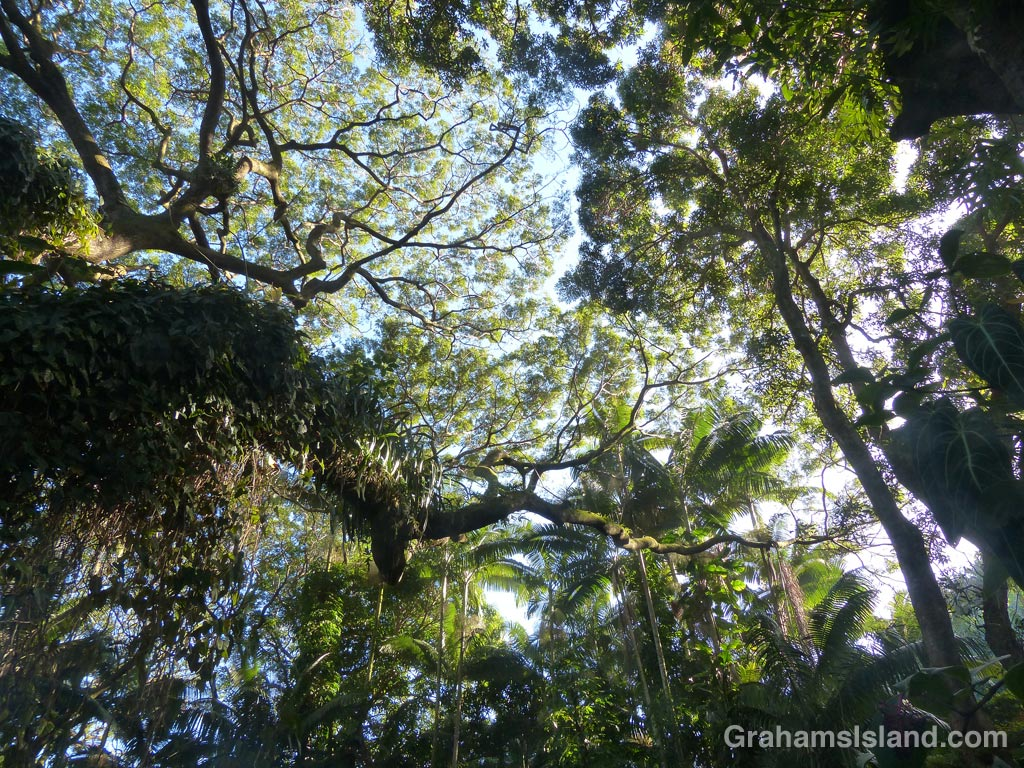 A canopy of tropical foliage. On the left is a huge albizia saman or monkeypod tree.
