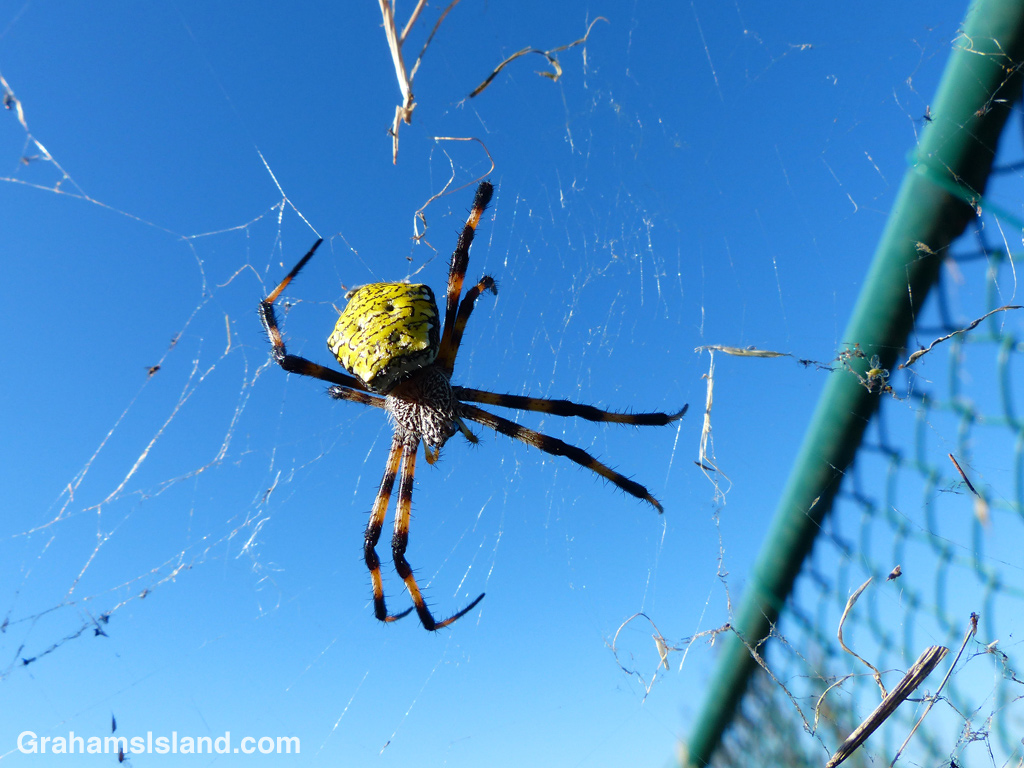 A female Hawaiian garden spider sits in the center of a battered web.