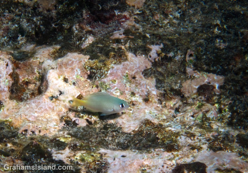 A bright-eye damselfish in the waters of the Big Island
