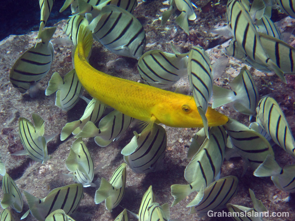 A cigar wrasse swims among a shoal of convict tang.