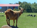 A domestic goat stands on a rock on the Big Island