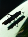 A silhouetted grasshopper casts a shadow on a glass windshield.