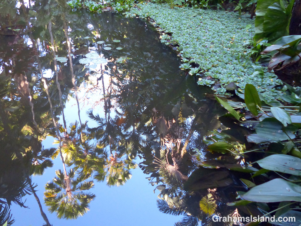 Palm trees and tropical foliage cast reflections on Lily Lake at Hawaii Tropical Botanical Garden.