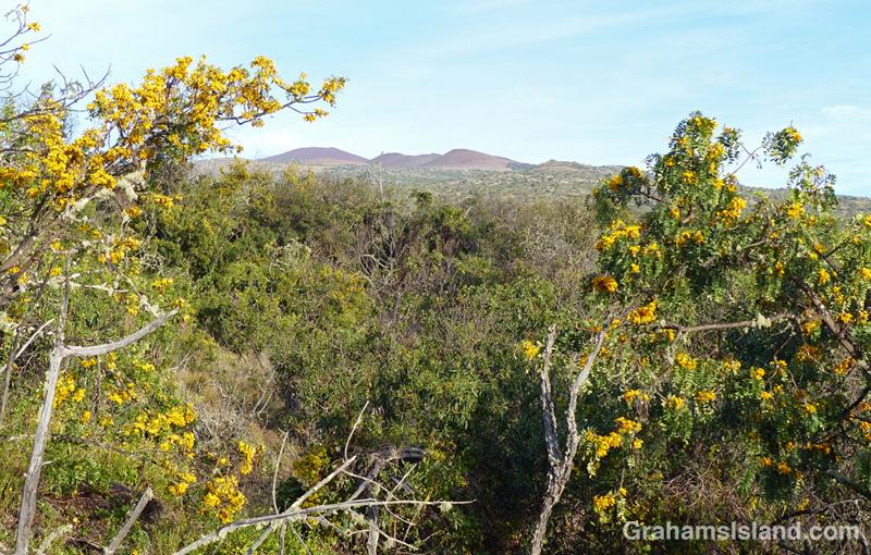 Mamane trees on the slopes of Mauna Kea.
