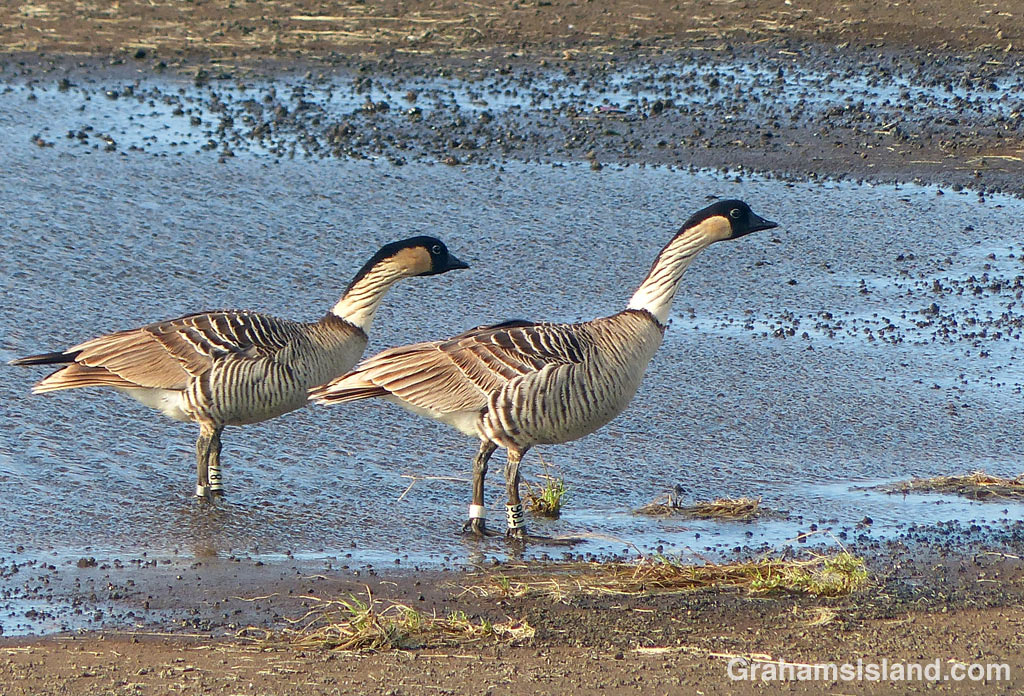 A pair of nene on the Big Island of Hawaii