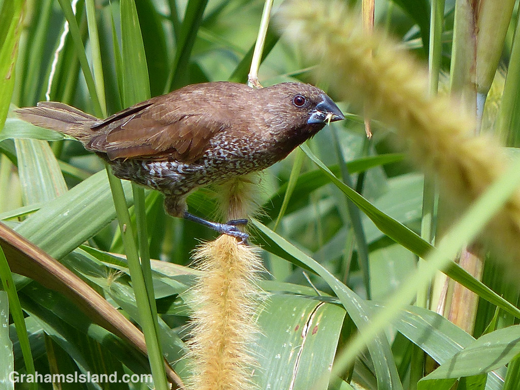 A nutmeg mannikin strips seeds off a stem of cane grass on the Big Island.