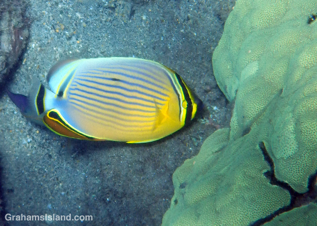 A brightly-colored oval butterflyfish grazes on polyps of living coral head.