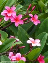 This Plumeria rubra has dark pink flowers, but others might sport, red, orange, yellow, or white flowers.